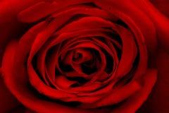 близкое розовое поднимающее вверх Стоковые Фото