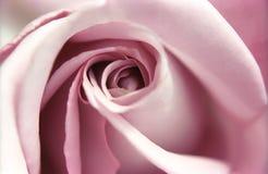 близкое розовое поднимающее вверх Стоковая Фотография