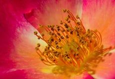 близкое розовое поднимающее вверх одичалое Стоковая Фотография