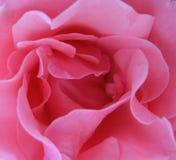 близкое розовое розовое поднимающее вверх стоковое фото rf