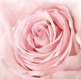 близкое свежее розовое розовое поднимающее вверх Стоковая Фотография RF