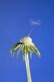 близкое семя последнего головки одуванчика вверх Стоковое фото RF