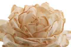 близкое увядая розовое поднимающее вверх Стоковые Фотографии RF