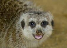 близкое meerkat вверх стоковое фото