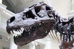 близкое rex судит tyrannosaurus вверх Стоковое Изображение RF