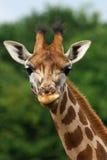 близкое rothschild портрета giraffe вверх по детенышам Стоковое Изображение RF