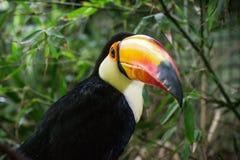 близкое toucan поднимающее вверх стоковые фото