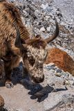 Близко вверх, взгляд со стороны отечественной головы grunniens быка яков стоковое изображение