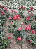 Близко вверх много красные цветки, в расстоянии к саду города белому стоковая фотография rf