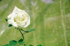 Близко - вверх по одиночным красивым белым розам стоковая фотография