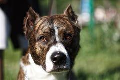 Близко вверх по одной собаке с подрезанными ушами стоковые фотографии rf