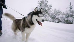 Близко - вверх сибирской лайки идет с его семьей в парах любов через лес зимы в замедленном движении видеоматериал