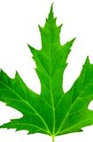 близко изолированный зеленым цветом клен листьев Стоковые Изображения