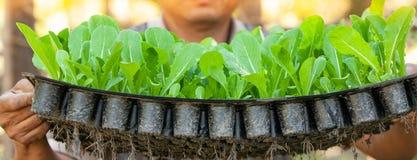 Близко, руки мужского садовника держа молодую китайскую капусту в подносе питомника Органическая плантация стоковые фотографии rf