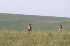 близнецы антилопы Стоковое Изображение RF