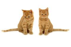 близнец котят стоковое изображение