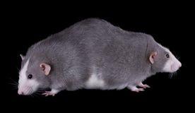 близнец крыс сиамский стоковое изображение rf