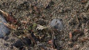 Блохи песка в песке сток-видео