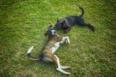 Блохи собаки сдерживая Стоковые Изображения RF