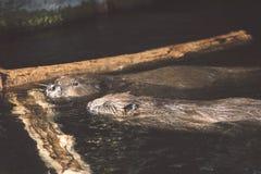 2 бобра в воде Стоковое Фото