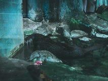 Бобр выдры в воде заплывания стоковое фото