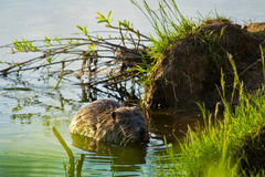 Бобр в реке Стоковые Фото