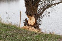 Бобр против дерева Стоковое Изображение RF