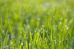Богатая зеленая трава в капельках росы в свете солнца утра стоковые изображения rf