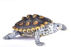 Богато украшенная с ромбовидным рисунком на спине водяная черепаха, macrospilota водяной черепахи Malaclemys Стоковые Фото