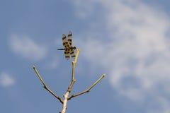 Богато украшенные запятнанные крыла Dragonfly вымпела хеллоуина Стоковые Фотографии RF