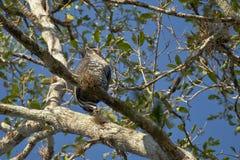 Богато украшенный орел хоука садить на насест на ветви Стоковые Изображения
