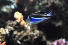 Богато украшенный angelfish Стоковое Фото