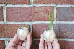 Богатство и везение, наследие, вознаграждение, парник Золотое яичко с свежей зеленой травой в руке, металлической Пасха, handmade стоковое фото rf