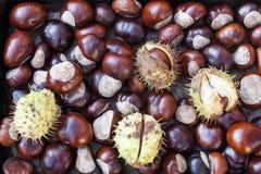 Богатые коричневые плоды конского каштана осени от дерева конского каштана Стоковые Фотографии RF
