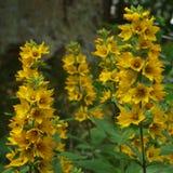 Богатый желтый постоянный цветок, большой желтый вербейник, полностью цветене стоковая фотография rf