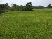 Богатый сбор рисовых посадок стоковое изображение