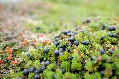 Богатый сбор ягод Стоковое Изображение
