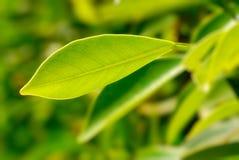 богачи листва Стоковая Фотография