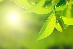богачи листва Стоковые Фотографии RF