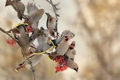 Богемский Waxwing - garrulus Bombycilla Стоковая Фотография