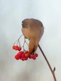 Богемский Waxwing - garrulus Bombycilla Стоковые Фото