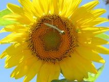 Богомол воюя пчелу Стоковые Фотографии RF