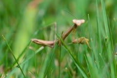 Богомол идя в траву Стоковые Изображения