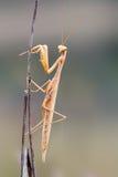 Богомол pennata Empusa на изолированной ветви Стоковое Изображение RF