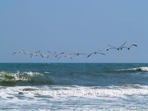 бодает пеликана Стоковые Фото