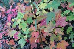 Бойкие кленовые листы вдоль пути леса пруда Walden Стоковые Изображения RF