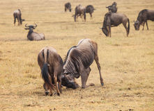 Бой антилопы гну Стоковые Фотографии RF