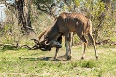 2 бой антилопы kudu мужчины Стоковые Изображения RF