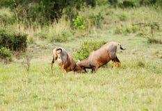 Бой антилоп тропического шлема Стоковые Изображения