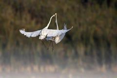 Бой больших egrets Стоковое фото RF